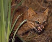 Pampas Cat - Oncifelis colocolo