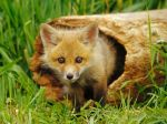Red-Fox-Pup-