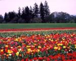 tulip-farm