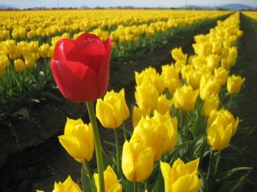 tulip1jpg-724745