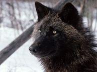 Tundra-Wolf-