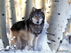 Winter_Hunting_Gray_Wolf