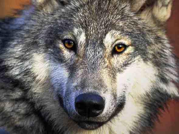 wolf-desktop_800x600
